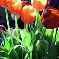 Tulips In The Light by Brenda Ackerman