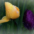 Tulips In The Rain by Luv Photography