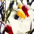 Tulips In The Snow by James BO  Insogna