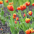 Tulips In The Springtime by Bill Cannon