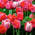 Tulips by Jenny Spinelli