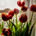Tulips by Karen Scovill