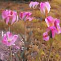 Tulips by Kristie  Bonnewell