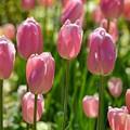 Tulips by Laurie Glowacki
