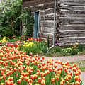Tulips Lead To The Cabin by Terri Morris