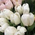 Tulips  by Maneet Kaur