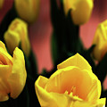 Tulips by Matt Truiano