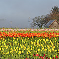 Tulips Morning Landscape by Perl Photography