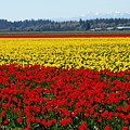 Tulips Of The Skagit Valley by Sandra Peery