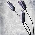 Tulips by Jacky Gerritsen