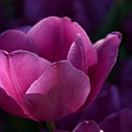 Tulips Purple Layers by Constance Woods