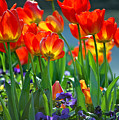 Tulips by Robert Meanor