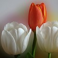 Tulips by Sandy Keeton