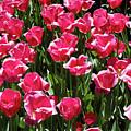 Tulips by Steven Riker