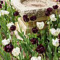 Tulips Surround The Bird Bath by Terri Morris