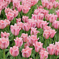 Tulips by Svetlana Foote