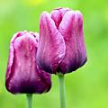 Tulips by Teresa Zieba