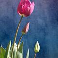 Tulips by Terri Waters
