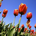 Tulips Time 3 by Robert Pearson