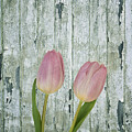 Tulips Two by Kim Hojnacki
