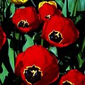 Tulips by Vanessa Palomino