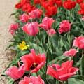 Tulips by Vicki Dreher