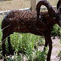 Tumble Weed Sheep Reno Nevada by LeeAnn McLaneGoetz McLaneGoetzStudioLLCcom