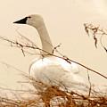 Tundra Swan by Dennis Hammer