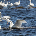 Tundra Swans 2018-1 by Thomas Young