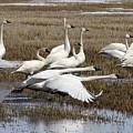 Tundra Swans Alberta Canada 3 by Bob Christopher