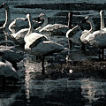 Tundra Swans by Donna Brown