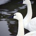 Tundra Swans by Lisa Kane