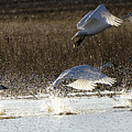 Tundra Swans Take Off 2 by Bob Christopher
