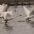 Tundra Swans Take Off by Bob Christopher