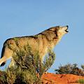 Tundra Wolf by Dennis Hammer