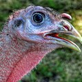 Turkey Named Thanksgiving by John Myers