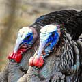 Turkey Prowl Closeup by Beth Myer