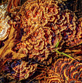 Turkey Tail Mushrooms  by Bob Orsillo