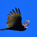 Turkey Vulture - 2 by Alan C Wade