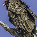 Turkey Vulture by Charlotte Sevigny