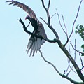 Turkey Vulture Drying Wings After Rain     Indiana Summer by Rory Cubel