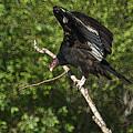 Turkey Vulture by Ernie Echols