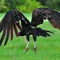 Turkey Vulture In Flight by Amy Spear