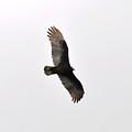 Turkey Vulture by Rich Bodane