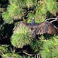 Turkey Vulture Spread Two by Joyce Dickens