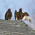 Turkey Vultures On Roof by Marie Read