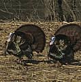 Turkeystrutin by Robert Pearson