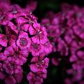 Turkish Carnation 5140 H_2 by Steven Ward