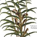 Turkish Corn, 1735 by Granger