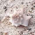 Turks And Caicos Shell by Heather Fiedler